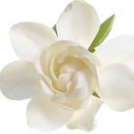 گل یاسمن