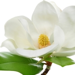 گل مگنولیا