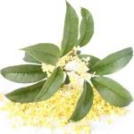 گیاه اسمانتوس