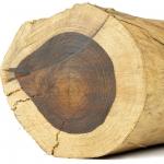 چوب درخت اقاقیا