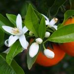 شکوفه پرتقال آفریقایی
