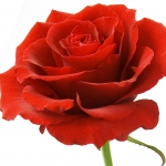 گل رز ترکیه